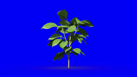 Green plant growing on blue screen background Animation