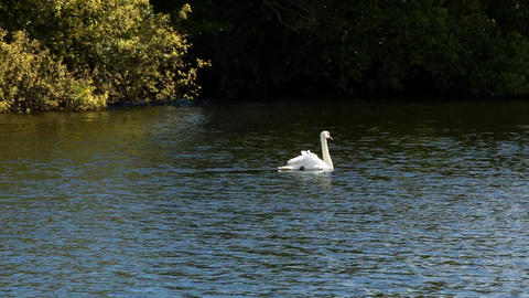 Graceful swan swimming across water Live Action