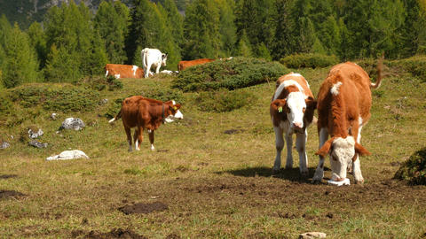 4k UHD cows in dolomite alps pan three peaks 11529 Footage