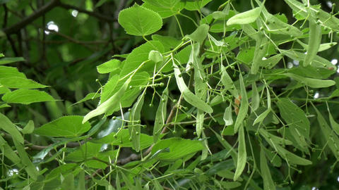 The green luscios herbs of Little-Leaf Linden tree Footage