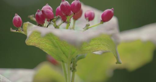 Red guelder rose flower plant Live Action