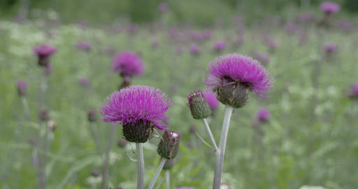 The purple flower of a Thistle plant FS700 4K RAW  Footage