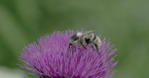 A big bee sucking on the flower of Thistle FS700 4 Footage