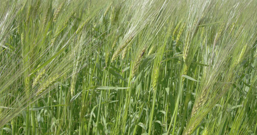 Closer look of the green barley plant with an inse Footage