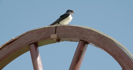 A barn swallow bird looking around FS700 4K RAW Od Footage