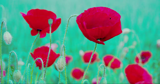 The waving flower of Papaver with a fly inside FS7 Footage