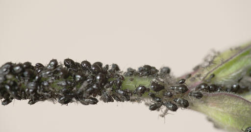 The Flock Of Small Black Aphid On A Stem FS700 4K  stock footage