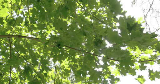 Lots of green maple leaves from the tree Footage