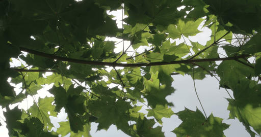 The branch of the maple tree with green leaves Footage