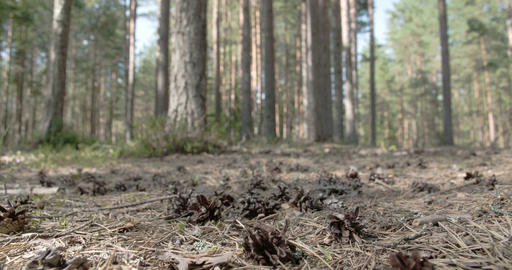 Lots Of Pine Cones Scattered On The Ground stock footage