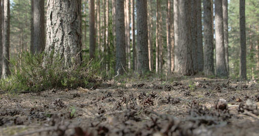 Pine Cones Scattered On The Ground Of The Forest stock footage