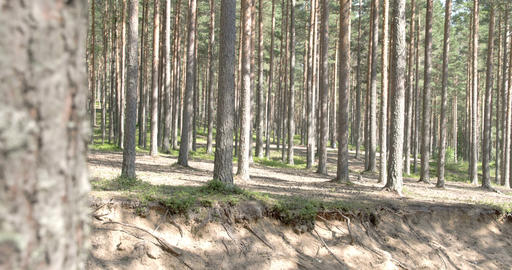 The beautiful trail of the pine trees in the fores Footage