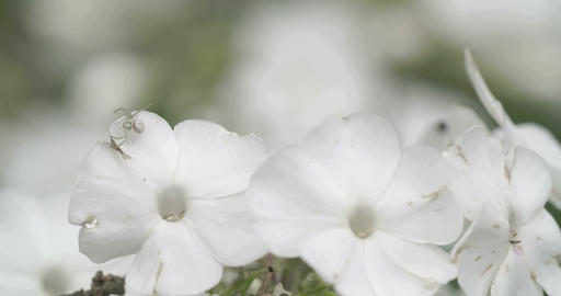 The crab spider hunting on the white flower Footage