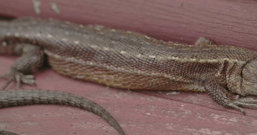 A brown long tail common lizard stuck on the wood Footage