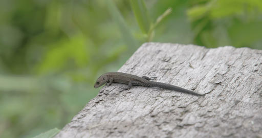 A common lizard on top of the roof in the forest Footage