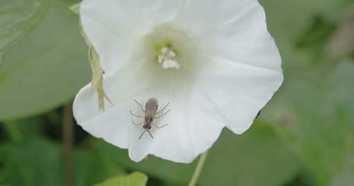 A bug inside the flower of field bindweed plant Footage