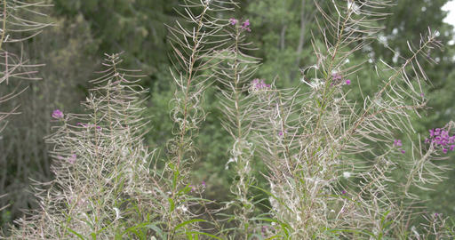 Lots of great willowherb plant in the meadow Footage