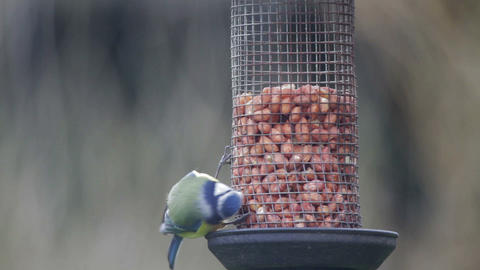 Blue Tit on Bird Feeder Footage