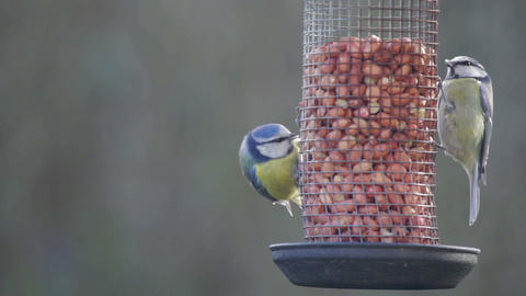 Two Blue Tits Footage