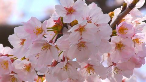 Cherry Blossoms sakura Stock Video Footage