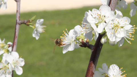Working bee Stock Video Footage