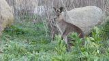 Young Kangaroo stock footage