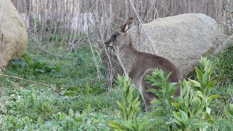 Young kangaroo Stock Video Footage