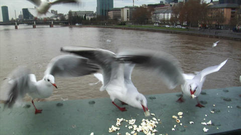 seagulls fight for feed slowmotion Stock Video Footage