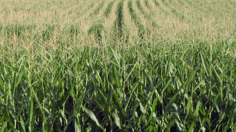field mais texture 04 Stock Video Footage
