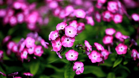 phlox Stock Video Footage