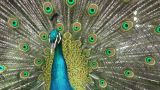 Peacock Opening stock footage