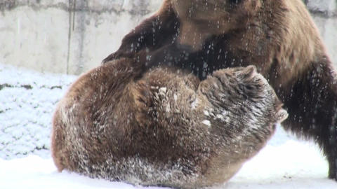 fighting bears Stock Video Footage