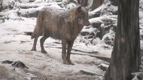 wolf in a forester area winter Footage