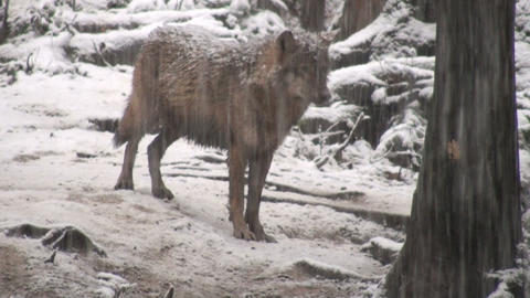 wolf in a forester area winter Stock Video Footage