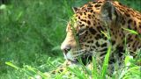 Head Jaguar stock footage