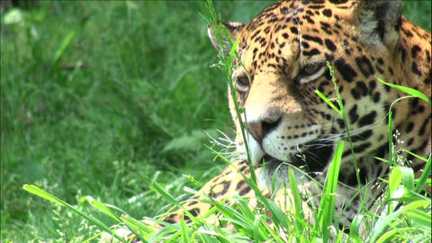 head jaguar Stock Video Footage