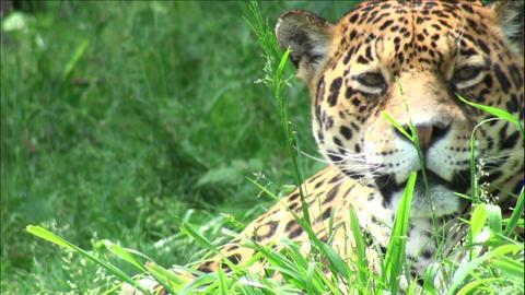 head jaguar Stock Video Footage