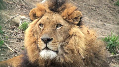lion resting ビデオ