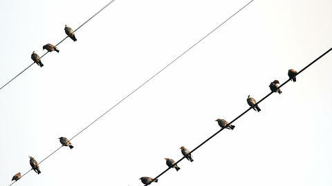 Starlings on wires Stock Video Footage