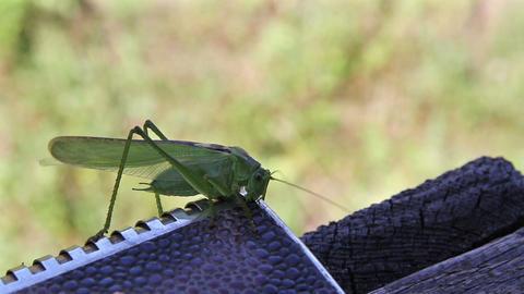 Omnivorous locust Footage