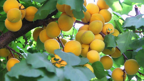 Apricot harvest Stock Video Footage