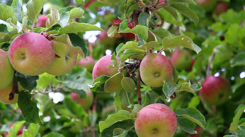 Apple harvest Stock Video Footage