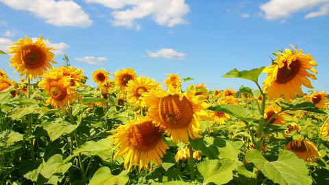 blossom sunflowers Stock Video Footage