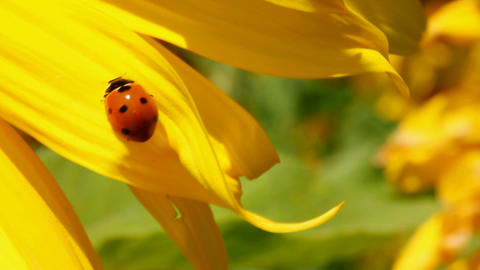 ladybug on sunflower macro Stock Video Footage
