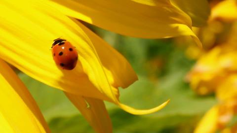 ladybug on sunflower macro Stock Video Footage