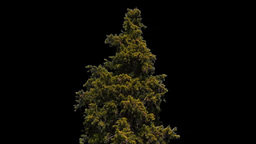 conifer 02 Stock Video Footage