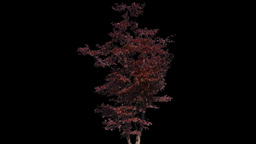 japanese maple 01 Stock Video Footage