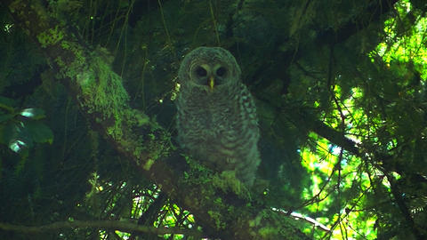 Juvenile Spotted Owl Perched Live Action