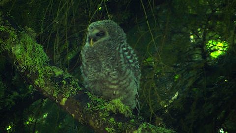 Juvenile Spotted Owl Looking stock footage