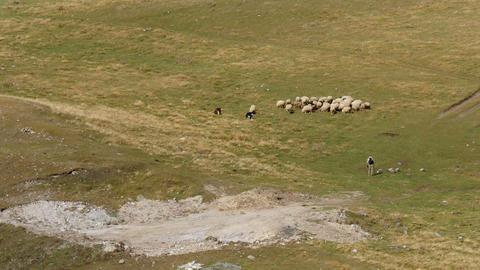 4K UHD herd of sheep on alpine meadow in caucasus Footage